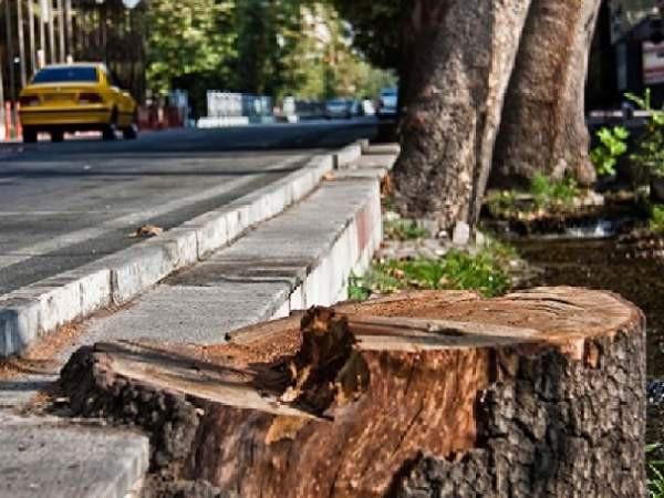 قطع شبانه درختان چنار، معضل جدید خیابانهای خلوت گنبدکاووس